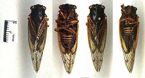cicada-image1