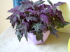 the latin name is Gynura but it is also known as the Velvet Plant or Purple Passion.