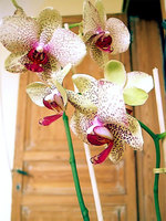 Received yet another orchid from Robbe en Christine. Would love to keep it alive this time.